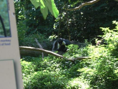 Diana Monkey II