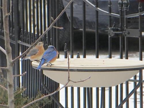 Bluebirds2-21