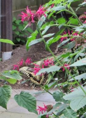 BeeBalmSwallowtail