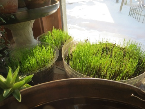 GrassSprouts
